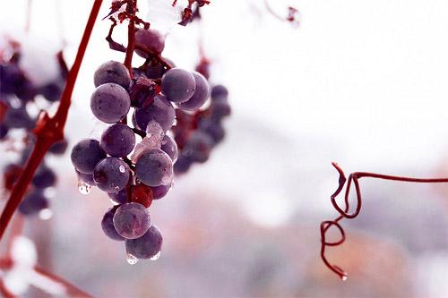 新年早々、縁起がいい? 今年初のブドウ収穫のニュースです。