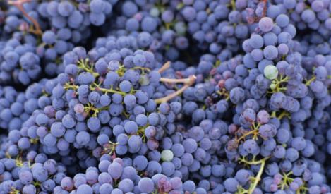 栽培面積世界 1位のブドウは? イタリアでの栽培面積1位のブドウは?