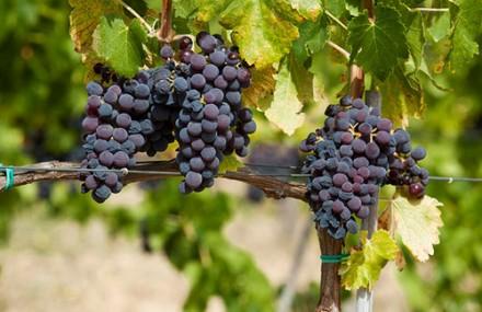 毎日飲まなきゃ。長寿の秘密はワインにあり!!