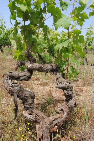 深い味わい!! 樹齢80年のブドウから造られるプリミティーヴォ。