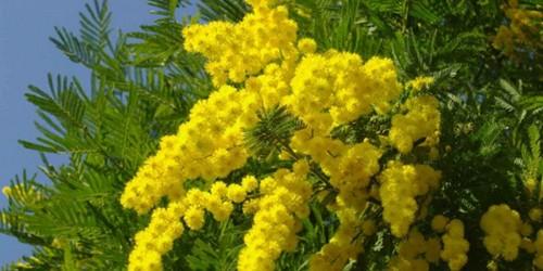 町中が黄色にそまる! 今日はミモザの花であふれる1日です。
