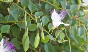 Cappero-fiori-e-frutti