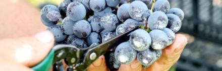 Latium Morini・・・Illasi(イッラージ)で生まれるワインです。